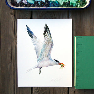 Royal Tern 8x10 Print - Native California Bird Print