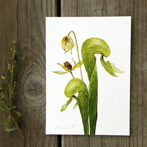 Cobra Lily 5x7 Print - Native California Flora, Darlingtonia californica, Watercolor Print, Carnivorous Plant, Sierras