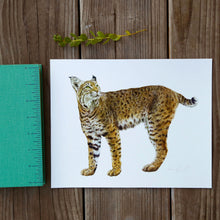 Bobcat 8x10 Print - Native California Wildlife, Mammal print