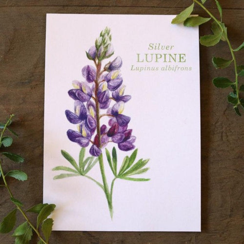 Silver Lupine watercolor painting art print native California 5x7