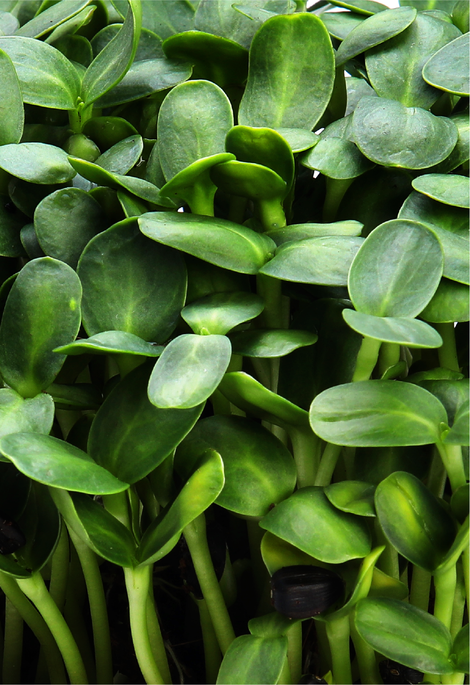 Microgreens micro greens nutrition antioxidants