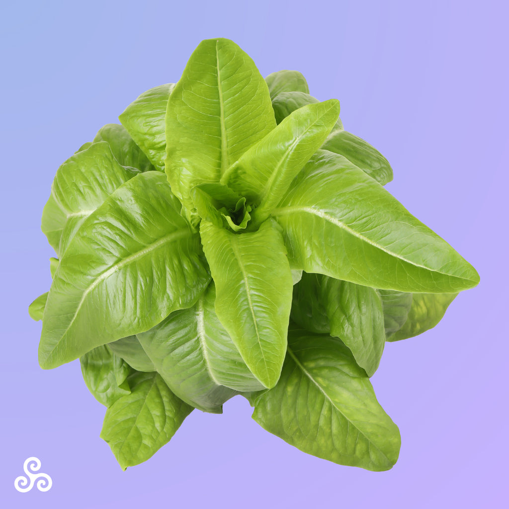 Buy Deer Tongue Lettuce