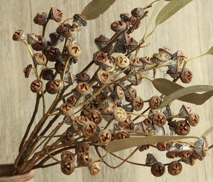10 Stems Dried Eucalyptus Seed, Dried Flowers, Dried Fruit, Dried Eucalyptus Fruit