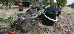 Our Old Vine Shiraz
