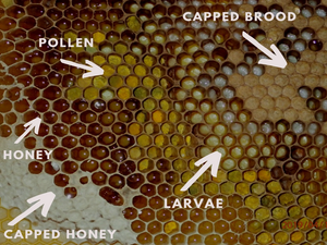 Hive checks - queen and brood condition
