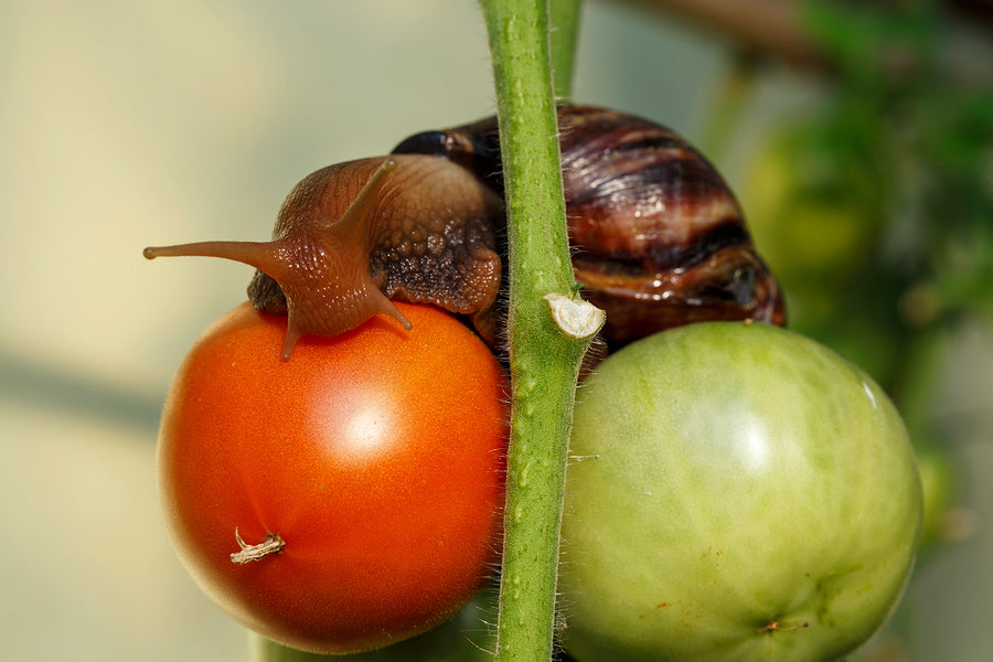 TOP TOMATO PESTS - PART 6 OF 6: Slugs & Snails