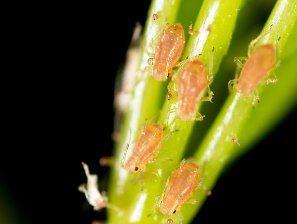 Top Tomato Pests - Part 1 of 6: Aphids
