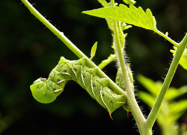 TOP TOMATO PESTS - PART 5 OF 6: Tomato Hornworms