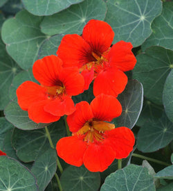 Dwarf Nasturtium Empress of India