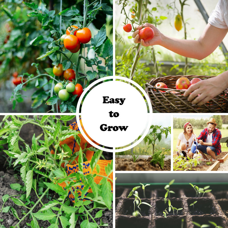 Best Paste Tomatoes Seed Collection