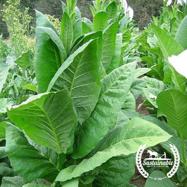 Adonis Tobacco Seeds