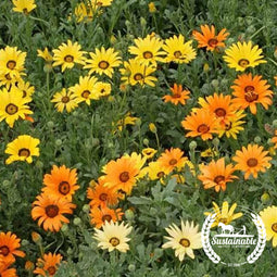 African Daisy (500 mg) Flower Seeds