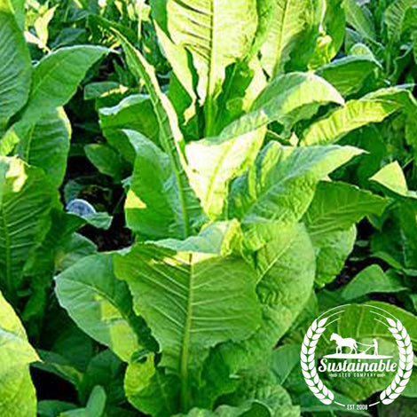 African Red Tobacco Seeds