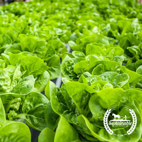 All the year round Lettuce Seeds - NON-GMO