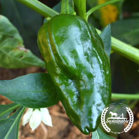 Ancho Sanchez F1 Pepper Seeds