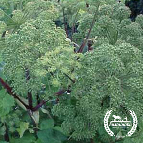 Angelica Archangel Herb Seeds