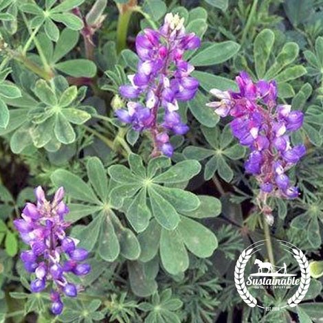 Arroyo Lupine Flower Seeds