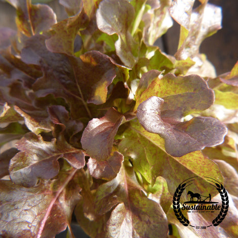 Organic Ashley Lettuce Seeds - Non-GMO