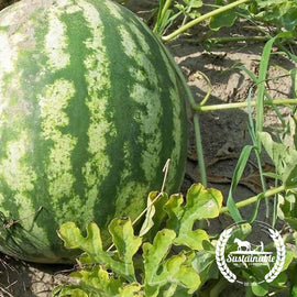 AU Producer Watermelon Seeds