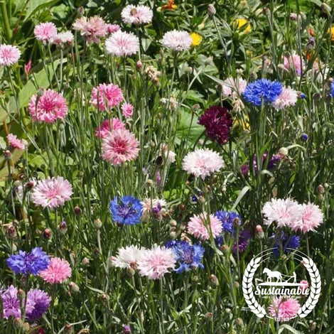 Bachelor Button, Tall Mix Flower Seeds