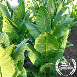 Baiano Tobacco Seeds