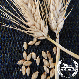 Burbank Hulless Barley Grain Seeds