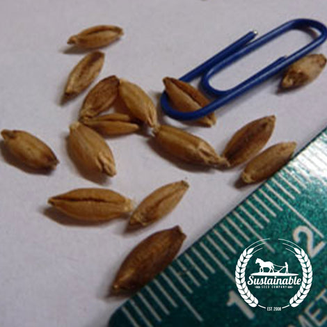 Ethiopian Hulless Barley Grain Seeds