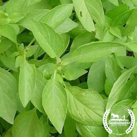 Basil, Lemon Herb Seed