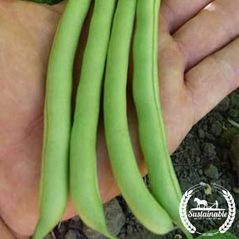 Harvester Bush Bean Seeds
