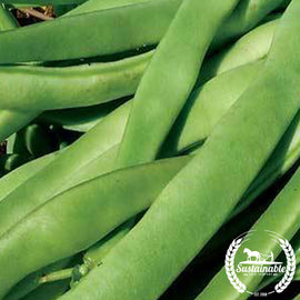Kentucky Wonder Bush Beans