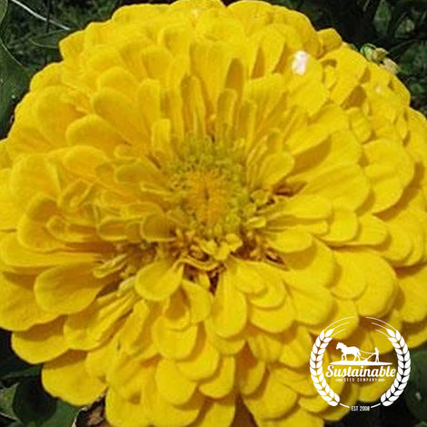 Benary's Giant Yellow Zinnia Flower Seeds