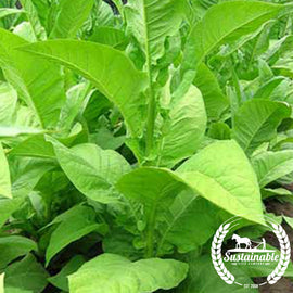 Big Gem Tobacco Seeds