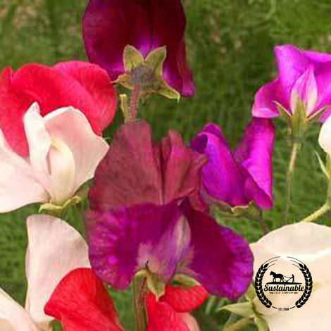 Sweet Pea Bijou Mix Dwarf Flower Seeds