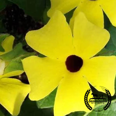 Black Eyed Susan Vine Flower Seed