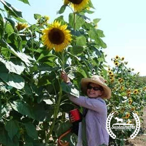 Organic Black Russian Sunflower Garden Seeds