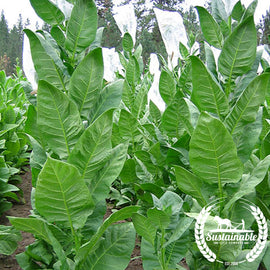 Black Sea Samsun Tobacco Seeds