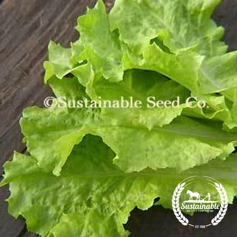 Black Seeded Simpson Lettuce Seeds