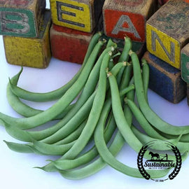 Black Valentine Bush Beans