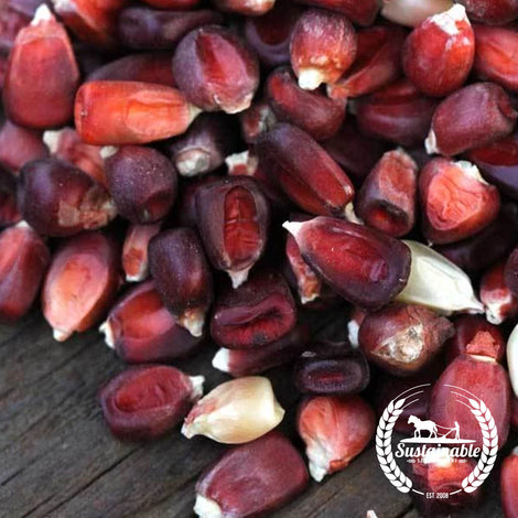 Organic Bloody Butcher Corn Garden Seeds