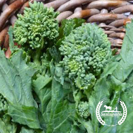 Spring Raab Rapini Broccoli Vegetable Seeds