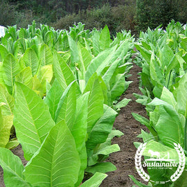 Burley 21 Tobacco Seeds