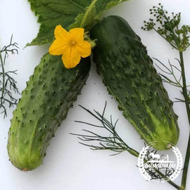 Bushy Cucumber Seeds