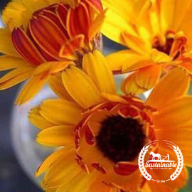 Organic Sunshine Flashback Calendula Flower Seeds