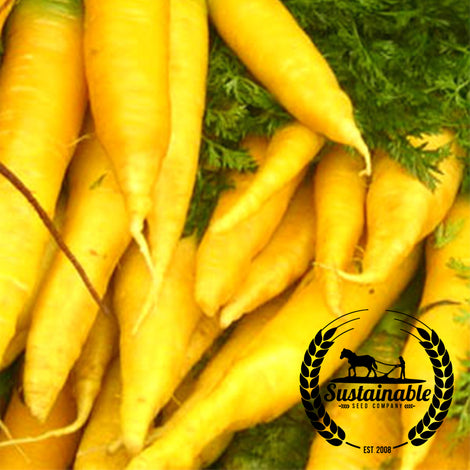 Solar Yellow Carrot Seeds