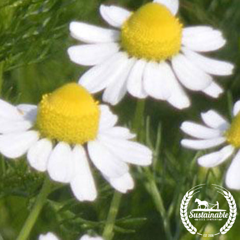 Organic Chamomile, German Herb Seeds