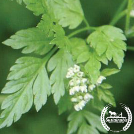 Chervil Herb Seed