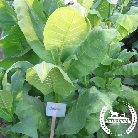 Chilean Tobacco Seeds