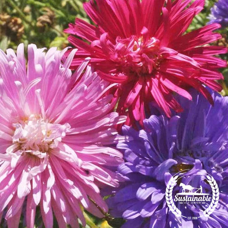 China Aster Flower Seeds