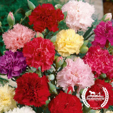 Clove Carnation Chabaud Mix Flower Seeds