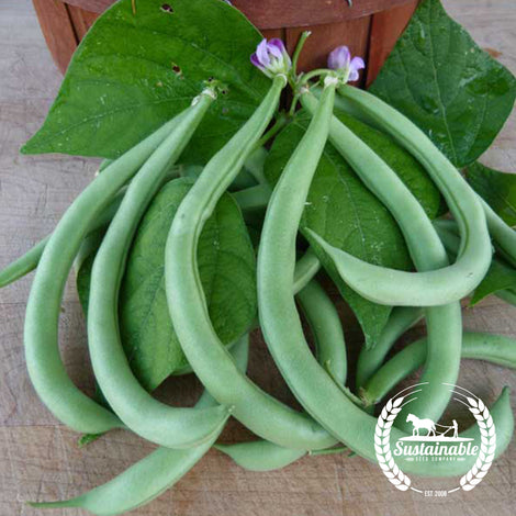 Organic Contender Bush Bean Seeds